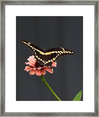 Zinnia With Butterfly 2708  Framed Print
