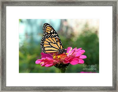 Zinnia With The Monarch Framed Print by Steve Augustin