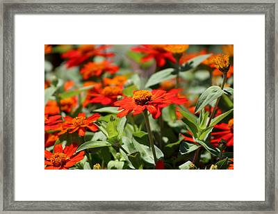 Zinnias In Autumn Colors Framed Print