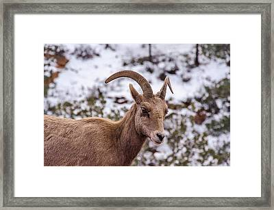 Zion Bighorn Sheep Close-up Framed Print