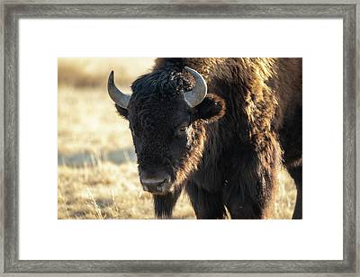 American Bison Framed Print