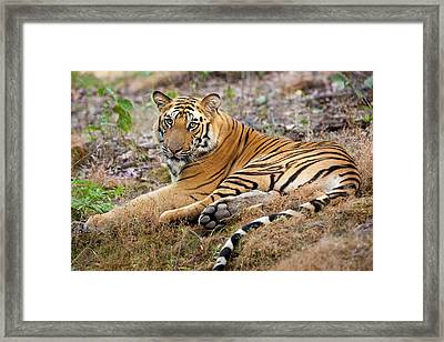 An Adult Tiger In Bandhavgarh National Framed Print by Mint Images - Art Wolfe