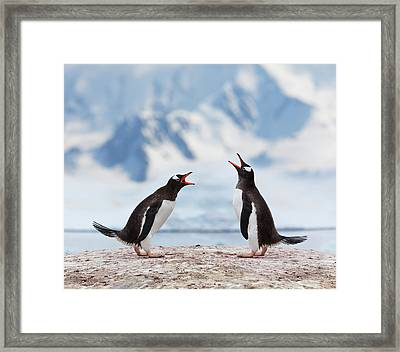 Antarctica Gentoo Penguins Fighting Framed Print by Grafissimo
