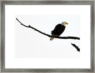 Bald Eagle 120501 Framed Print