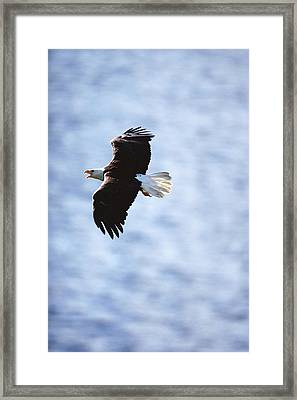 Bald Eagle Haliaeetus Leucocephalus In Framed Print by Art Wolfe