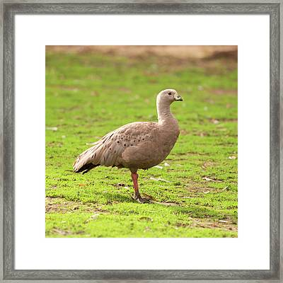 Framed Print featuring the photograph Cape Barren Goose Out In Nature by Rob D