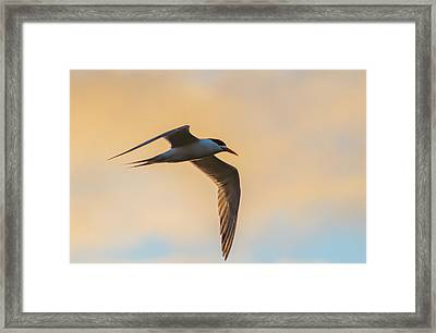 Crested Tern In The Early Morning Light Framed Print