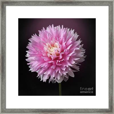 Framed Print featuring the photograph Dahlia 'chilson's Pride' by Ann Jacobson