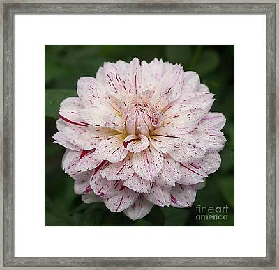 Framed Print featuring the photograph Dahlia 'picasso' by Ann Jacobson