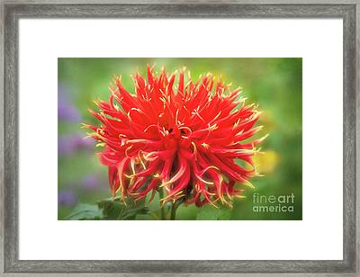 Glorious Sho-n-tell Dahlia Framed Print