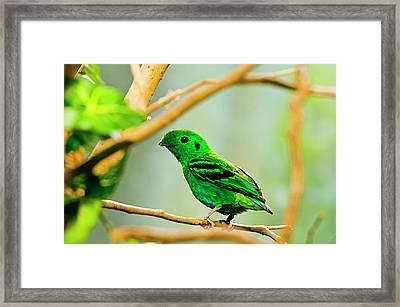 Green Broadbill Framed Print by By Ken Ilio