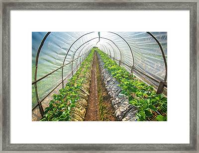 Hydroponic Vegetable In A Garden Framed Print by Primeimages