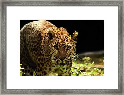 Leopard Framed Print by Somak Pal