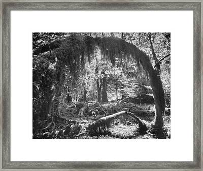 Olympic National Park Showing Rain Fores Framed Print by Loomis Dean
