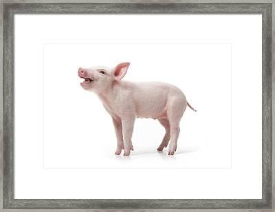 Piglet Framed Print by Fuse