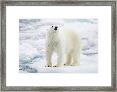 Polar Bear Framed Print by Kencanning
