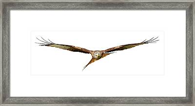 Framed Print featuring the photograph Red Kite - Bird Of Prey In Flight by Grant Glendinning