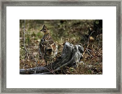 Ruffed Grouse 50701 Framed Print