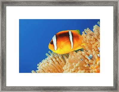 Sea Life - Anemone  Clownfish Framed Print by Ultramarinfoto