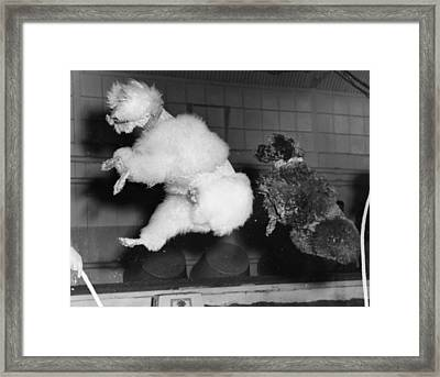 Skipping Poodles Framed Print by Ron Case