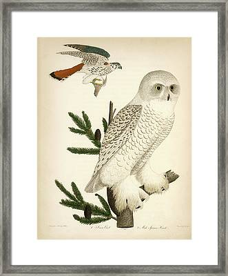 1. Snow Owl. 2. Male Sparrow-hawk. Framed Print