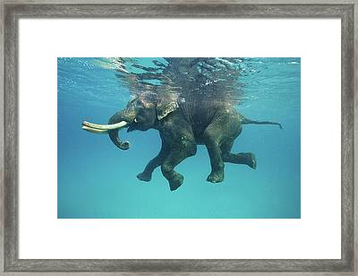 Swimming Elephant Framed Print
