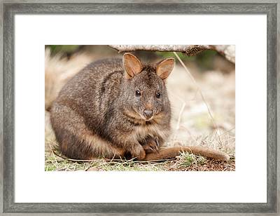 Framed Print featuring the photograph Australian Bush Wallaby Outside During The Day. by Rob D