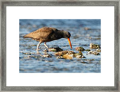 Black Oystercatcher Pacific Coast Framed Print