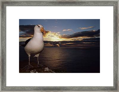 Campbell Albatross Thalassarche Framed Print by Tui De Roy/ Minden Pictures