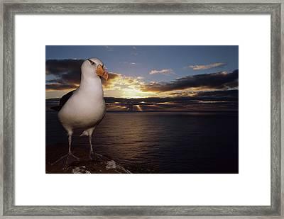 Campbell Albatross Thalassarche Framed Print by Tui De Roy/ Minden Pictures