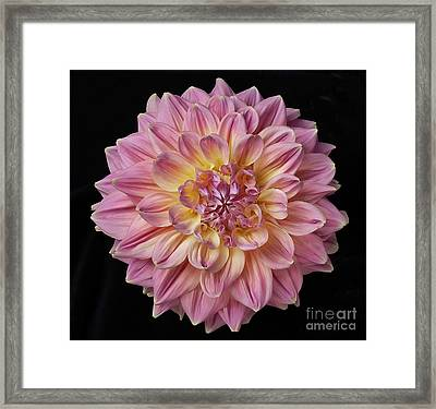 Framed Print featuring the photograph Dahlia 'mingus Philip Sr' by Ann Jacobson