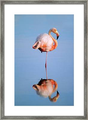 Greater Flamingo Phoenicopterus Ruber Framed Print by Wayne Lynch