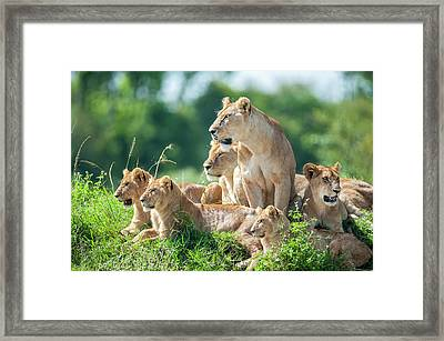 Lioness With Cubs In The Green Plains Framed Print by Guenterguni