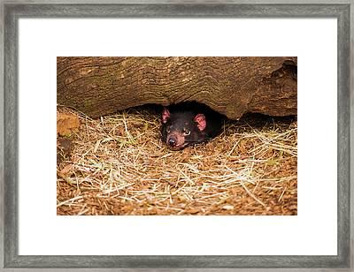 Framed Print featuring the photograph Tasmanian Devil In Hobart, Tasmania. by Rob D