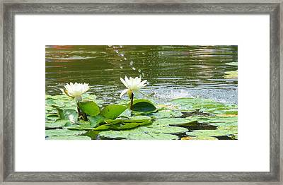 2 White Water Lilies Framed Print