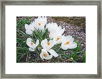 25/03/18  Ramsbottom Chocolate Festival. White Crocuses. Framed Print