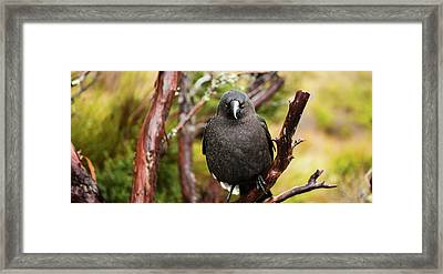 Framed Print featuring the photograph Black Currawong Resting On A Tree Branch by Rob D