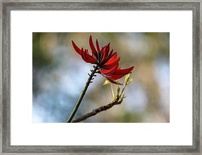 Coral Tree Flowers Framed Print