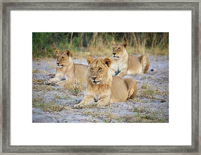 Framed Print featuring the photograph 3 Lions by John Rodrigues