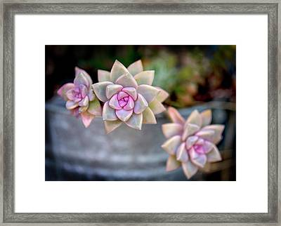 Framed Print featuring the photograph 3 Succulents by John Rodrigues