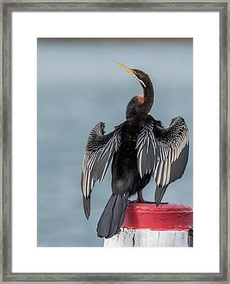 Australasian Darter Framed Print