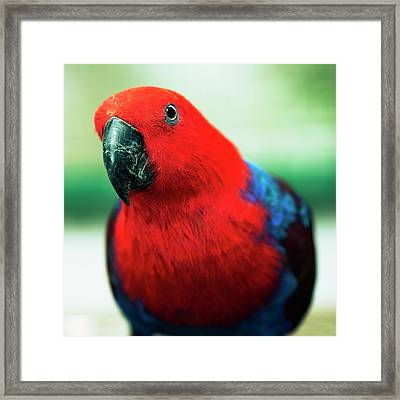 Framed Print featuring the photograph Crimson Rosella by Rob D