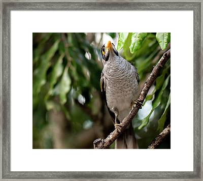Framed Print featuring the photograph Noisy Miner Bird By Itself by Rob D