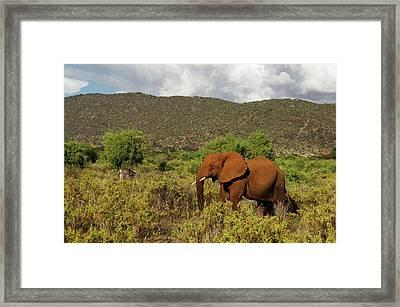 African Elephant Loxodonta Africana Framed Print by Ariadne Van Zandbergen