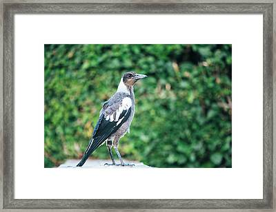 Framed Print featuring the photograph Australian Magpie Outdoors by Rob D