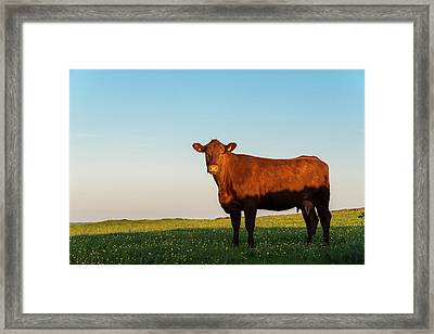 A Brown Cow On A Summer Evening Framed Print by Photos By R A Kearton