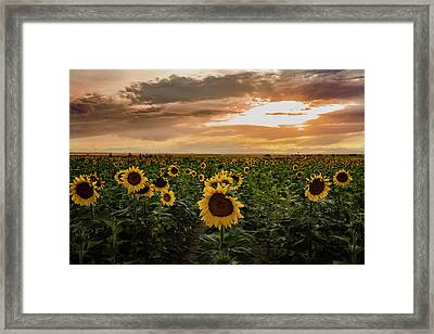 A Field Of Sunflowers At Sunset Framed Print