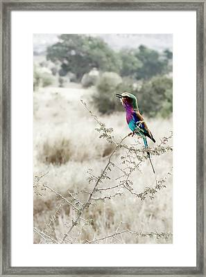 A Lilac Breasted Roller Sings, Desaturated Framed Print