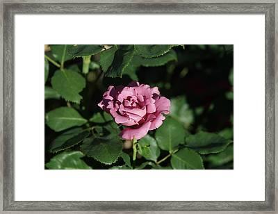 A New Rose Framed Print