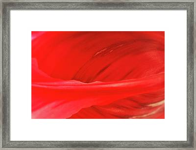 A Single Tulip Petal Framed Print